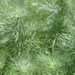 アサギリソウの育て方 肥料の与え方・増やし方・病害虫対策など、元気に育てるコツを紹介します