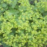 アルケミラモリスの育て方について 肥料の与え方・増やし方・病害虫対策など、元気に育てるコツを紹介します