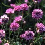 アルメリアの育て方について 肥料の与え方・増やし方・病害虫対策など、元気に育てるコツを紹介します