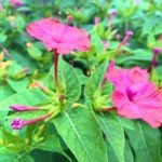 オシロイバナの育て方について キレイに咲かせ、元気に育てるコツを紹介します