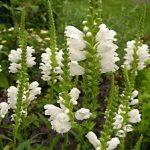 カクトラノオの育て方について キレイに咲かせ、元気に育てるコツを紹介します
