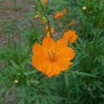 キバナコスモスの育て方について キレイに咲かせ、元気に育てるコツを紹介します