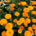 キンセンカの育て方について キレイに咲かせ、元気に育てるコツを紹介します