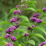 コムラサキの育て方について キレイに咲かせ、元気に育てるコツを紹介します