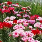 ゴデチアの育て方について キレイに咲かせ、元気に育てるコツを紹介します