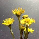 コルツフットの育て方について キレイに咲かせ、元気に育てるコツを紹介します