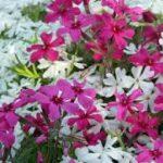 シバザクラの育て方について キレイに咲かせ、元気に育てるコツを紹介します